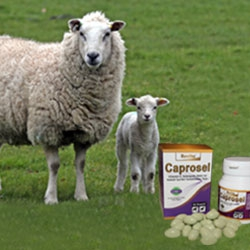 Sheeps Products